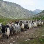 Hayvancılıkta dipten dönüş /  Abdullah AYSU