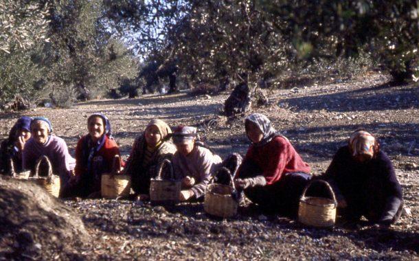 Ayvalık'ta tarım nasıl çöktü? / Hasan Cengiz Yazar