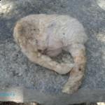 İnay köyünde sakat kuzular doğmaya yeniden başladı