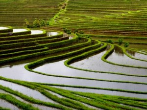 Endüstriyel tarımda Suidiler