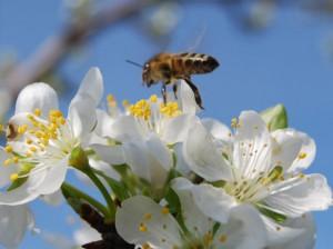 Arılar çalışmadı, kiraz rekoltesi düştü
