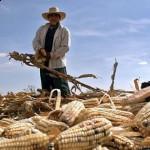 Genetiği değiştirilmiş mısır yayılıyor