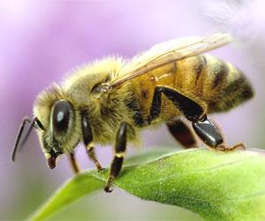 Arıların kayboluşundaki sır çözüldü