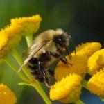 Arı ölümleri kıtlığın habercisi mi?