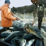 Çevreciler 1 milyon balık için devrede