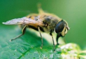 *Arı ölümlerinin nedeni genetiği değiştirilmiş mısır mı?*