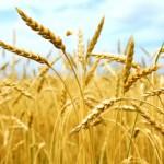 Buğdayın kilogramı ne kadar olacak?