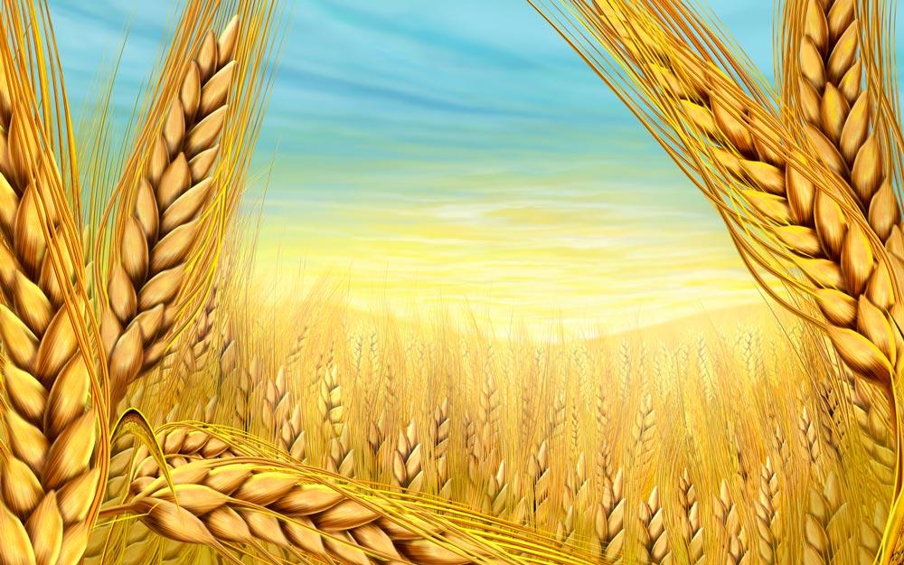 Ekmeğin anası buğday  /  Abdullah Aysu