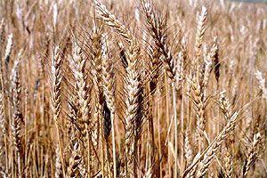 TMO'dan buğday fiyatını indirecek hamle