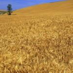 En çok sigortalanan tarım ürünü buğday