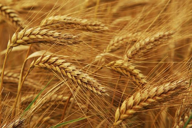 TMO buğday ithal ediyor