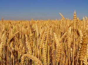 Ekmeklik buğdayın tonu temmuz ve ağustosta 605 TL olarak belirlendi