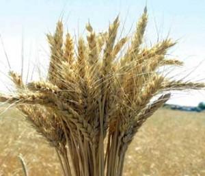 Buğday fiyatı düşüyor, ekmek fiyatı yükseliyor