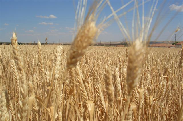 Buğdayın ve insanlığın halleri / Abdullah Aysu