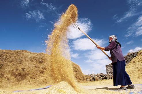 Buğday üreticisinin yüzü gülmüyor;  fiyatlar enflasyonun altında kaldı