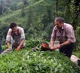 Çay Kanunu taslağının TBMM'den geçmesi sektörün sonu olur