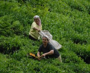 Çay Üreticisi Fiyat Bekliyor