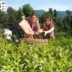 Çay piyasası tüccara emanet/Ali Ekber Yıldırım