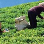 Çay üreticileri: Yine dolandırıldık