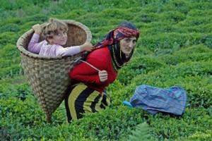 Karadeniz'de iktidarın yeni saldırı alanı ve yeni direniş nedeni: Çay / Fatma Genç