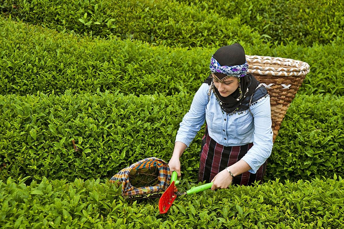 3,03 çay üreticisini kurtarır mı? / Fatma Genç