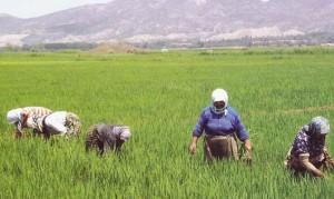 Hububat-Sen,Dünyada ve Türkiye'de Çeltik Üretimi Raporu'nu açıkladı