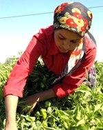5 çocuktan biri mevsimlik işçi