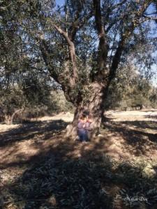 15 bin zeytin ağacı sökülerek yakacak yapıldı