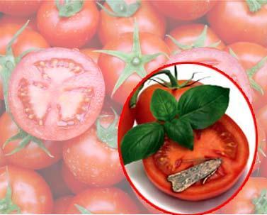 Güney Afrika'dan geldi domatesin tadını kaçırdı