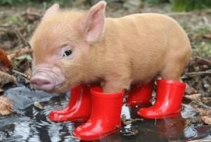 Yağmur ve domuz yavrusu