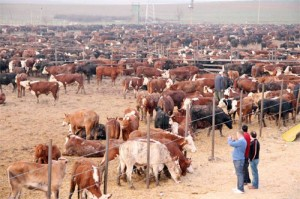 Sıfır gümrüklü karkas et ithalatına sektör sert çıktı