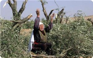 Filistin'de zeytin savaşları