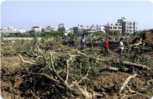 Filistin'de zeytin katliamına devam