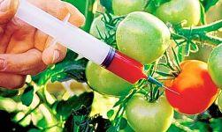 GDO'lu besinlerle zehirlenme özğürlüğü başlıyor...