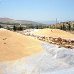 Buğdayda fiyat politikaları ve ihtiyaçlar/ Abdullah AYSU
