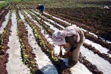 Türkiye Şeker Üretimi ve Sorunları