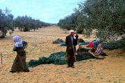 Diktatörlükten demokrasiye Tunus'un zeytin ağaçları / Kıvanç Eliaçık