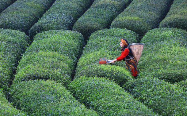 Çay üreticisi tedirgin: Toprağı hiç mi düşünmediniz? / Fatma GENÇ