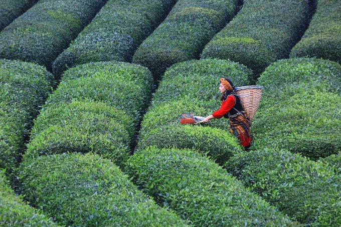 Çokuluslu şirketlerin kıskacındaki çay / Necdet Oral