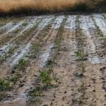 Kınık'ta dolu binlerce dönüm tarım alanını vurdu