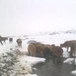 Köylüler, Buzu Kırıp Hayvanlarına Su İçiriyor