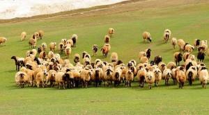 Hayvancılığımızı nasıl çökerttik / Ahmet Atalık