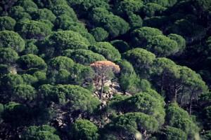Bergama Kozak'ta Fıstık Çamları tehlikede