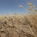 Rençber Gözüyle -  Tahıllar ve kuraklık / Abdullah Aysu