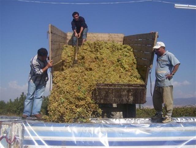 Alaşehir'de Kuru Üzüm Üretim Oranları Açıklandı