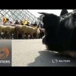Müzeyi koyunlar bastı