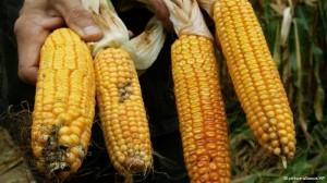 GDO'lu Amerikan mısırı tartışılıyor