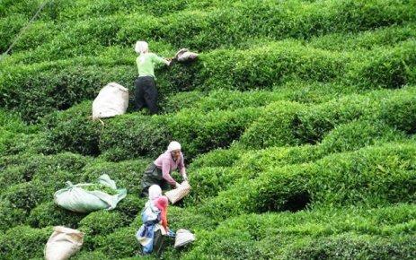 Çay üreticisinin durumu / Özge Güneş