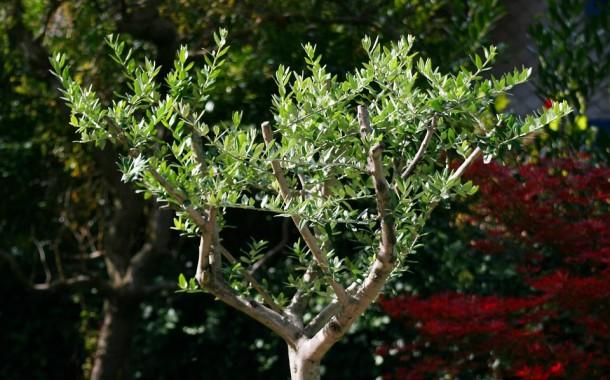 Zeytin ağaçlarımız ölüm tehlikesiyle karşı karşıya / Güngör Uras