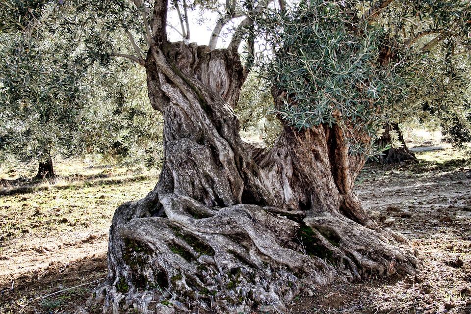 Milyonlarca zeytin ağacı nerede?  / Ali Ekber Yıldırım